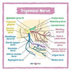 Cranial Nerves Anatomy, Nerve Anatomy, Human Anatomy And Physiology, Dental Assistant Study, Dental Hygiene School, Dental World, Dental Life, Medicine Notes, Medicine Student