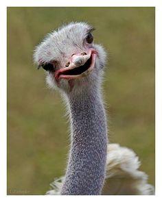 #animals Avestruz