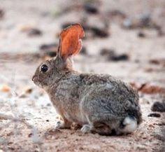 San Jose Brush Rabbit - An Endangered Species