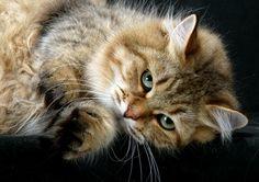 Russian Siberian Cat