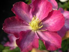 Clematis hybrids group ... www.clematis.be...Miniseelik