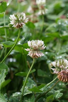 Dutch white clover flowers. Besides making an excellent forage crop for animals, clovers are a valuable survival food: they are high in proteins, widespread, and abundant. The fresh plants have been used for centuries as additives to salads and other meals consisting of leafy vegetables.
