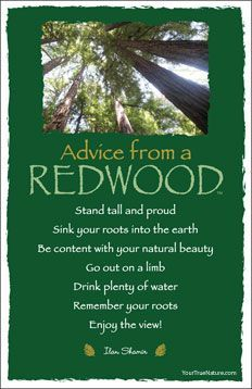 Advice from a redwood
