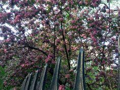 Springtime Crab Apple Blossoms in Gramercy Park / New York City