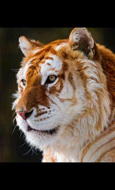 El tigre dorado. La genética no tiene frontera alguna, las mutaciones marcan la diferencia y son las causantes de rasgos tan singulares como este. Nos hacen especiales.
