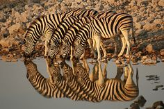 All Creatures Great and Small: Reflection - namibia (africa) Example Of Reflection, Reflection Photos, Reflection Photography, Color Photography, Animal Photography, Especie Animal, Mundo Animal, Animal Magic, Zebras