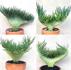 Bring The Ocean Vibes Into Your Home With Mermaid Tail Succulents Succulent Gardening, Cacti And Succulents, Planting Succulents, Cactus Plants, Garden Plants, Planting Flowers, Cactus Art, Indoor Gardening, Flowering House Plants