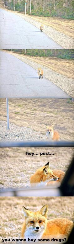 So that's what the fox says…