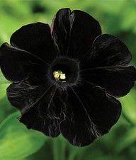very rare flower --black cat petunia #Flowers #Blackflowers #Rareflowers…