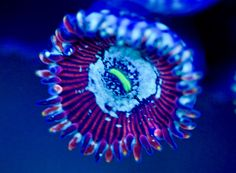 The Happy People Eater zoanthid.  Zoanthids, generally marine creatures are often found on coral reefs.