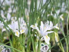 Frühlingsbote, so schön wie die Iris-Pflanze mit ihren zierlichen Blüten aussieht!  #erlebnisgärtnerei #hödnerhof #ebbs #kufstein #mils #hall #tirol #größtegärtnereitirol #gärtnerei #eigenprodukion #pflanzenwelt #dekowelt #ausflugsziel #erleben #cafebistro #wirliebenblumen #flowerlovers #spring #bumenliebe #zwiebelpflanze #springflower #iris #springtime #frühlingsbote Iris, Around The Worlds, Innsbruck, Plants, Instagram, Inspiration, Bearded Iris, Garden Plants, Flowers