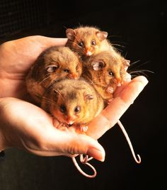Pygmy possums-the-Mountain Found in the Australian state of Victoria