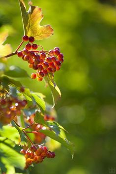 Berries: