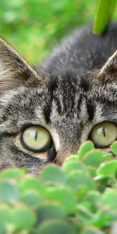 This could be my cat Lily. The eyes look so much like Lily, but her eyes are actually greener.