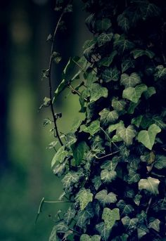 We love the way ivy twists and turns over the trees and the forrest floor. There's something magical about it...
