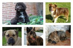 This Thanksgiving, the AKC is adding seven new dog breeds to its official ranks.