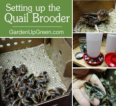 Prepping for baby quail is very similar to a chick brooder. Because of there size there are a few key things that will make this experience a positive one. Learn how to set up a successful quail brooder.