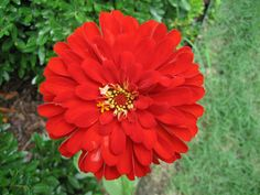 red zinnia (i want my garden filled with these for fresh cut arrangements anytime)