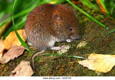 vole sitting - Google Search