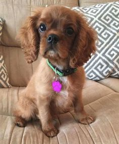 Spaniel Puppies, Baby Puppies, Cute Puppies, Cute Dogs, Dogs And Puppies, Cavalier King Charles, King Charles Dog, King Charles Spaniel, Cute Little Baby