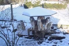 The Husky Pack