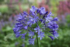 Buy African lily Agapanthus 'Headbourne hybrids': Delivery by Crocus.co.uk