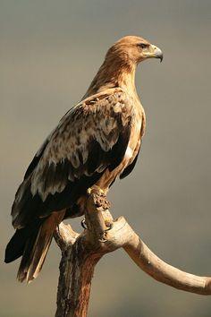 Águila imperial ibérica (Aquila adalberti). Es un ave de la familia Accipitridae endémicade la península ibérica. El tamaño medio de los adultos es de entre 78 y 83 cm y 2,8kg de peso, si bien las hembras, más grandes que los machos, pueden llegar a los 3,5 kg. La envergadura alar varía entre 1 y 2,1m. Raptor Bird Of Prey, Birds Of Prey, Raptors, Beautiful Birds, Animals Beautiful, Types Of Eagles, Where Eagles Dare, Bird Illustration, Wild Nature