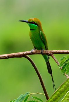 Green Bee Eater Potrait