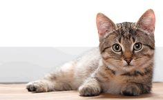 Diabetes Mellitus - The Sound Cat Veterinary Hospital