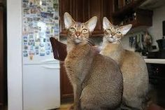 Looking for Abyssinian Cat Breeders In California? Here's a list of breeders with Abyssinian cats and kittens for sale in Southern and Northern California. American Bobtail, American Curl, Abyssinian Kittens, Cats And Kittens, Scottish Fold, Maine Coon, Cool Cats, Domestic Cat Breeds, Best Cat Breeds