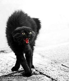 """Vous connaissez certainement cette posture caractéristique du """"chat noir d'Halloween"""" ? Mais que signifie-t-elle exactement ?  Le chat est de profil, mais sa tête est de face. Le dos est arqué, la nuque fléchie, les pattes tendues. Au niveau de la tête, les pupilles sont dilatées et les oreilles tournées vers l'arrière au maximum. Le chat est à la fois effrayé et agressif, il est en posture offensive. Gare à ne pas vous trouver sur son passage à ce moment-là ! Black Cats, White Cats, Crazy Cat Lady, Crazy Cats, Cool Cats, I Love Cats, Dog Cat, Scared Cat, Halloween Black Cat"""