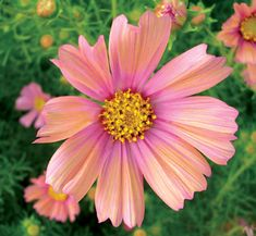 Cosmos 'Apricot' Dreamy flowers with an iridescent pink blush towards the center bloom like crazy on a bushy 3' x 3' plant. Generally, a late bloomer, from August to November, but sooo worth the wait. Combine it with Scabiosa caucasica 'Fama Blue' & Antirrhinum 'Double Azalea Apricot' for a mouthwatering garden vignette! DO NOT FERTILIZE this Cosmos or you'll get more dense ferny foliage & fewer flowers. Sun Avg. Water