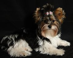Gorgeous Biewer baby Oolie Scrumptious at 6 months old wearing her signature bow made by Jackie :)