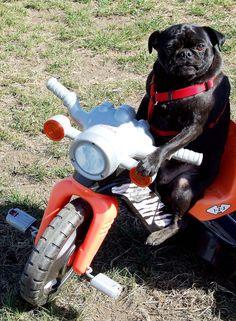 Pugs love to ride!! #Pug #Dog #Ride #Bike #Cute #Funny