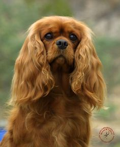 Cavalier King Charles Spaniel My WISH is to have a Ruby colored Cavalier