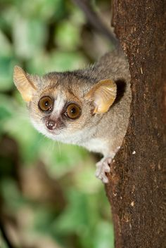 The beautiful little Grey mouse lemur aka lesser-mouse lemur.  They have a high rate of reproduction and a varied diet of insects, reptiles and fruit.