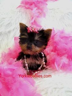 Teacup yorkie  me have mine Sophie fluff y feathers shell get in to them just like she always does with toilet paper