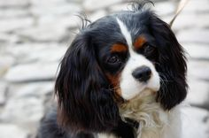 The Cavalier King Charles Spaniel was shown within the Toy Group of the AKC beginning in 1996.