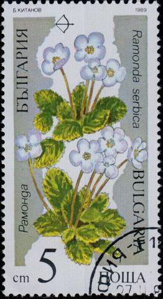 Znaczek: Ramonda serbica (Bułgaria) (Endangered plants) Mi:BG 3735,Sn:BG 3392,Yt:BG 3229A,AFA:BG 3619