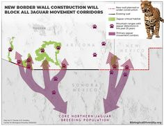 "datarep: ""New border wall construction blocking known jaguar movement corridors into the US "" Star Trek Data, Corridor, Vulnerability, Wall Design, Jaguar, Habitats, The Past, Construction, How To Plan"