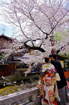 Wedding couple in kimono under the cherry blossoms