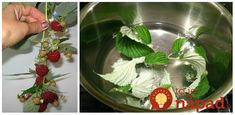 Malinový list a jeho liečivé účinky. Edible Flowers, Kraut, Korn, Celery, Cabbage, Remedies, Food And Drink, Herbs, Vegetables