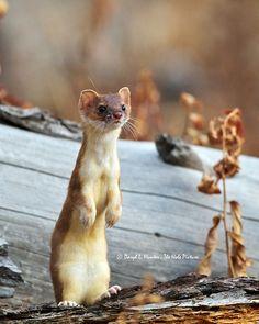 I love weasels!