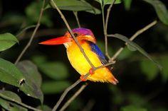 Roosting Tropical Bird, Sungai Kinabatangan, Malaysian Borneo