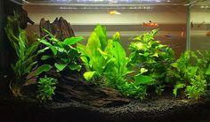 ^^ Gouramis need a bigger tank for more than one. But Gouramis are very territorial as you noticed. Aquascaping, Aquarium Aquascape, Aquarium Setup, Home Aquarium, Aquarium Design, Aquarium Fish Tank, Planted Aquarium, Cool Fish Tanks, Tropical Fish Tanks