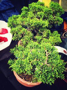soon Juniper Bonsai, Succulents, Plants, Succulent Plants, Plant, Planets