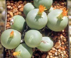 Exotic Plants Conophytum calculus - succulent - 15 seeds, http://www.amazon.com/dp/B00LAG2U42/ref=cm_sw_r_pi_awdl_a7o.ub1WMFVJY