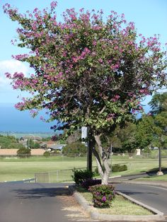 Bauhinia x 'blakeana' (Hong Kong Orchid Tree) - sun/ls, 20-40x20-25, fragrant blooms for 4 months! nov-feb, drought tolerant, some periods of no leaves (typically march or april - longer if no irrigation), fast growing but a bit awkward early on, z9b-12b (min 27 f), drier well drained soil - drought tolerant, this HYBRID is sterile w/ no seed pods! if you have seed pods you don't have this tree u have Bauhinia Purpurea. 25 gal for $125 at Mariposa