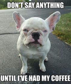 Cranky French Bulldog