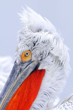 1198-727.jpg 665×1,000 pixels This is one sexy pelican ❤️